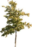 tree75