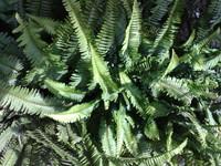 GREEN DRX 8
