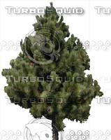 Small Austrian Pine