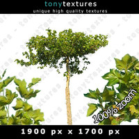 Summer Tree 15 High Resolution
