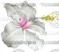 White Hibiscus - Isolated