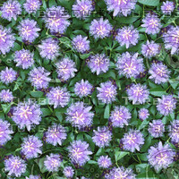 Passion flower seamless pattern