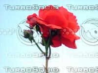 Red  rose  20090505 011
