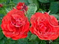 Red rose  20090505 026
