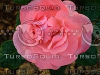 Red rose  20090505 033