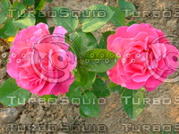 Red rose 20090505 057