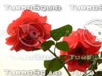 Red rose 20090509 086