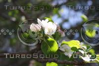 SPX_AppleBlossom003