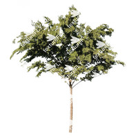 Chinese Elm Tree 2