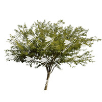 Chilean Mesquite Tree 4