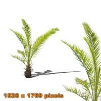 Palm bush 4