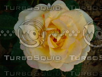 Yellow  rose  20090505 031