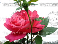 Red rose 20090509 028