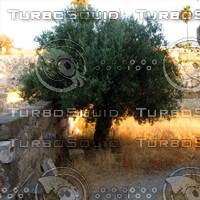 Kos Olive Tree
