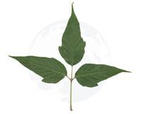 Pangea3D_Tri_Leaf