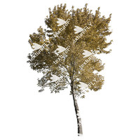 Silverleaf Maple Tree