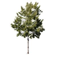 Silverleaf Maple Tree 2
