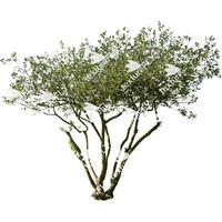 Fruitless Olive Tree 2