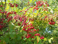 crab apples 01.jpg