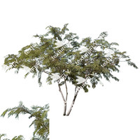 Chilean Mesquite Tree 2