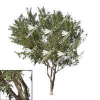 Ironwood Tree 2