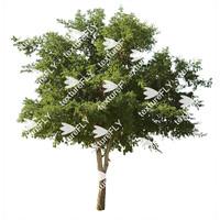 Texas Ebony Tree