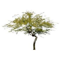 Chilean Mesquite Tree 5