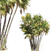 everglades_palm.png