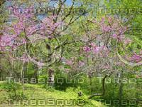 flowering plum trees 01.jpg