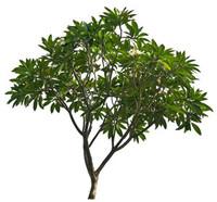 frangifani tree.rar