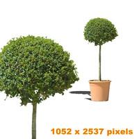 Tree bush