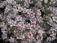 Dianthis Flower 01.jpg