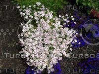 Dianthis Flower 02.jpg