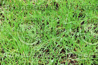 Wet Grass Background