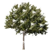 Chokecherry Tree 2