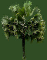 california fan palm tree 01.psd