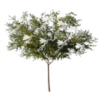 Chinese Elm Tree 4