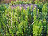 wide water plants 01.jpg