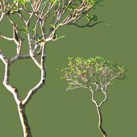 Young frangipani