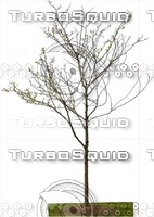 Honeylocust-Spring 01.zip