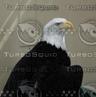 Eagle - Injured