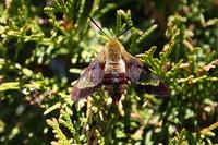 SPX_HummingbirdMoth005