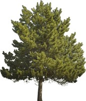 Scotch Pine 03