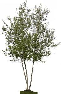 White Spire Birch Clump (Betula Populifolia) 02