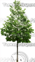 tree105