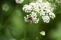 Insect_Bumblebee_0002