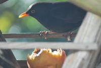 Bird_Blackbird_0001