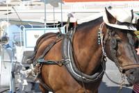 Animal_Horse_0001