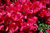Flowers_Bougainvillea_0001