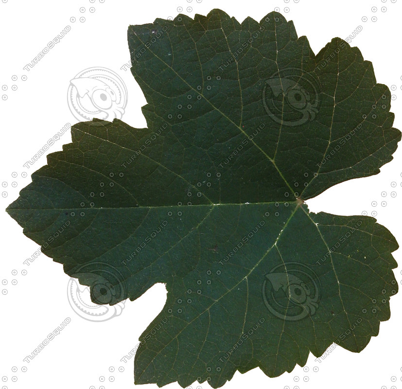 stock png fig leaf vegetation